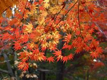 Japanese Maple Tree and Autumn Leaves stock images