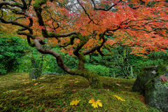Japanese Maple Tree in Autumn stock photos