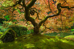 Japanese Maple Tree Bathed in Sunlight. Red Japanese Maple Tree bathed in sunlight at Portland Japanese Garden in Springtime royalty free stock images