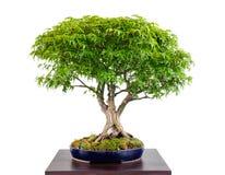 Japanese maple tree bonsai Acer palmatum Kiyohime. White isolated stock image