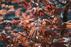 Japanese Maple Tree. The color`s of the Japanese Maple Trees are amazing Stock Image