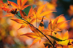 Japanese Maple Tree. Colorful autumn leaves of Japanese Maple tree lit with sun Royalty Free Stock Photo