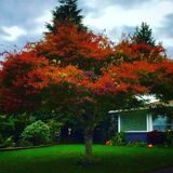 Japanese maple tree. Stock Photography