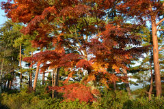 Japanese Maple Tree in the Fall. Red Japanese maple tree in the fall Royalty Free Stock Images