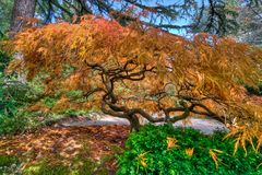 Japanese Maple Tree Foliage Fall Authomn Season Royalty Free Stock Images