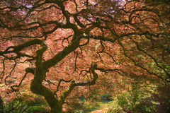 Japanese Maple Tree. In garden in Portland Oregon stock image