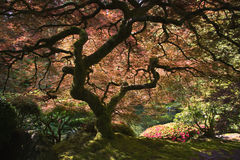 Japanese Maple Tree. In garden in Portland Oregon royalty free stock image