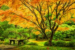 Japanese maple tree with golden fall foliage. Next to an empty bench in Seattle`s Washington Park Arboretum Botanical Garden Royalty Free Stock Photo