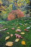 Japanese Maple Tree on a Green Mossy Slope Stock Photos
