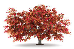 Japanese maple tree isolated on white Stock Photos