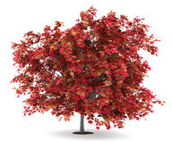 Japanese maple tree isolated on white Royalty Free Stock Photography