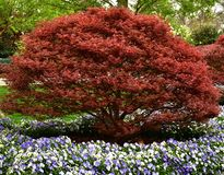 Japanese Maple Tree royalty free stock photography