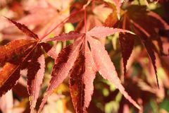 Japanese maple tree leaf close up. An embodiment of the fall season. I wanted to capture the color and texture of the beautiful dark red and yellow-orange leaf Stock Photo