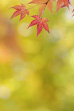 Japanese maple tree leaves colorful background in autumn Royalty Free Stock Image