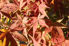Japanese maple tree leaves fall. An embodiment of the fall season. I wanted to capture the color and texture of the beautiful dark red and yellow-orange leaves Royalty Free Stock Photo