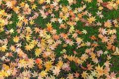Japanese Maple Tree Leaves on Ground Autumn Season Stock Photos