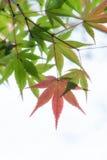 Japanese maple tree leaves illuminated by sunlight on white  bac. Kground Royalty Free Stock Image