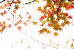 Japanese maple tree leaves illuminated by sunlight on white  background.  Stock Image