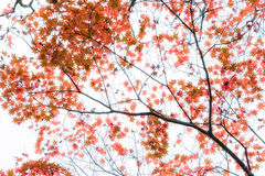 Japanese maple tree leaves illuminated by sunlight on white  background.  Stock Photography
