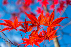 Japanese maple tree leaves Royalty Free Stock Image
