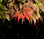 Japanese Maple Tree Royalty Free Stock Photo