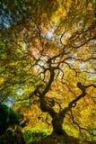 Japanese maple. Tree portland stock photography