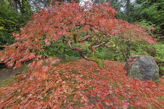 Japanese Maple Tree in Portland Japanese Garden Autumn Season Royalty Free Stock Image