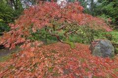 Japanese Maple Tree in Portland Japanese Garden Autumn Season Royalty Free Stock Image