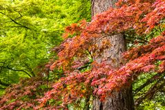 Japanese Maple tree in Portland`s Crystal Springs Rhododendron G Royalty Free Stock Images