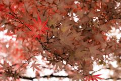 Japanese Maple tree in Portland`s Crystal Springs Rhododendron G. Arden, Oregon stock photography