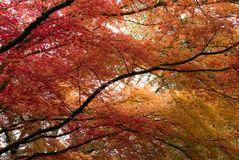 Japanese Maple tree in Portland`s Crystal Springs Rhododendron G Royalty Free Stock Photo