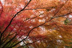 Japanese Maple tree in Portland`s Crystal Springs Rhododendron G Stock Photos