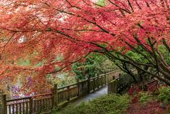 Japanese Maple tree in Portland`s Crystal Springs Rhododendron G Stock Photography
