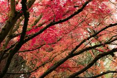 Japanese Maple tree in Portland`s Crystal Springs Rhododendron G Royalty Free Stock Photos
