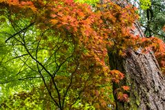 Japanese Maple tree in Portland`s Crystal Springs Rhododendron Garden. Oregon stock images