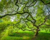 Japanese Maple Tree in Princeton New Jersey Stock Image