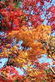 Japanese Maple trees. With red and yellow leaves royalty free stock image