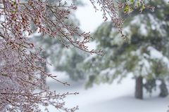 Japanese Maple Tree and Redwood trees in a spring snow storm royalty free stock photo