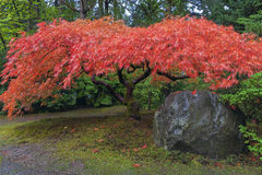 Japanese Maple Tree by Rock in Autumn. Japanese Red Lace Leaf Maple Tree by Rock in Autumn Stock Image