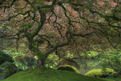 Japanese Maple Tree in Spring royalty free stock photography