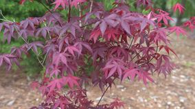 Japanese maple tree with star jasmine bush green leaves and white blossom stock video