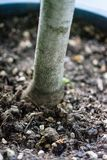 Japanese maple tree trunk close up view royalty free stock image