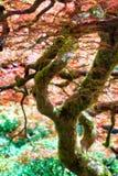 Japanese Maple Tree Royalty Free Stock Images