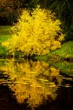 Japanese maple tree with yellow fall foliage. Reflects in a pond in Seattle`s Washington Park Arboretum botanical Garden stock image
