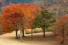 Japanese maple trees Stock Image