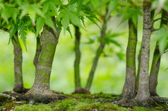 Japanese maple trees as bonsai forest Stock Photography