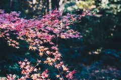 Japanese maple trees. In Japan stock photography