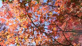 Japanese Maple Trees. Japanese maple trees turning red in the fall stock video footage