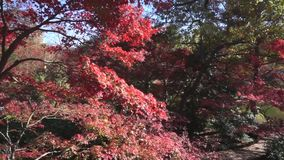 Japanese Maple Trees. stock video footage