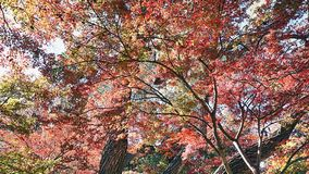 Japanese Maple Trees. Royalty Free Stock Photography